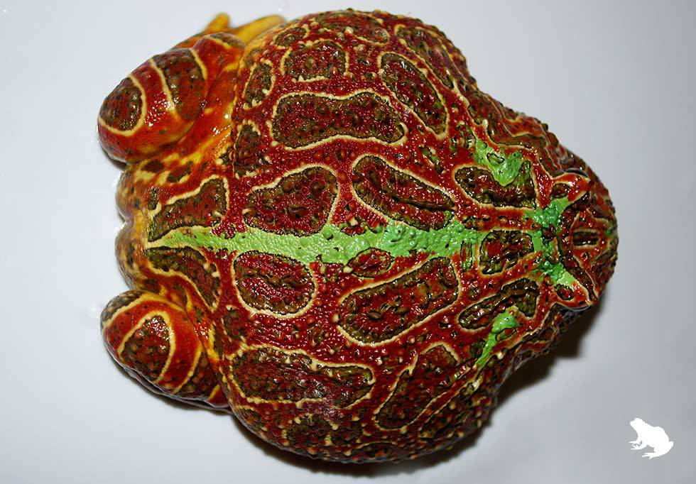 High-Red Ornate Pacman Frog top view