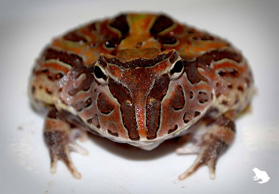 Brown Fantasy Frog front view