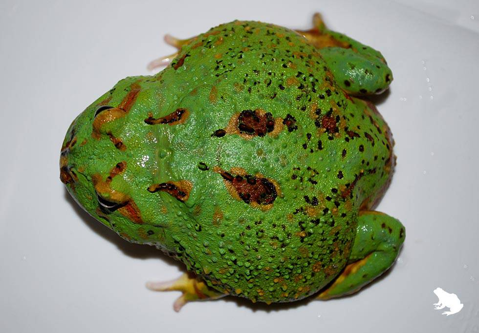 4-Spot Patternless Pacman Frog top view