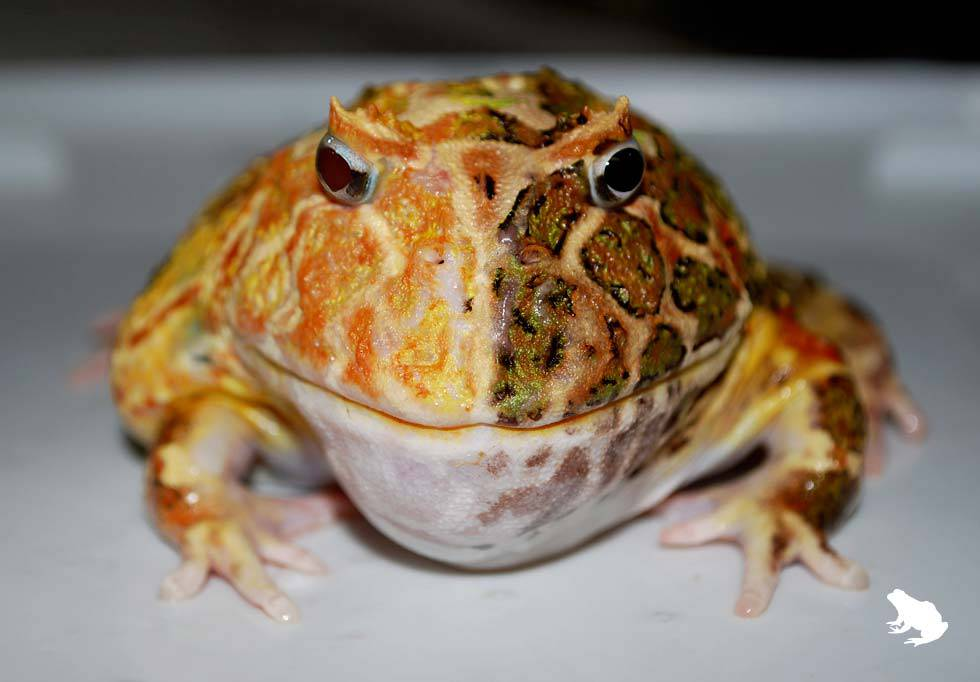 Two-Faced Pacman Frog Mutant
