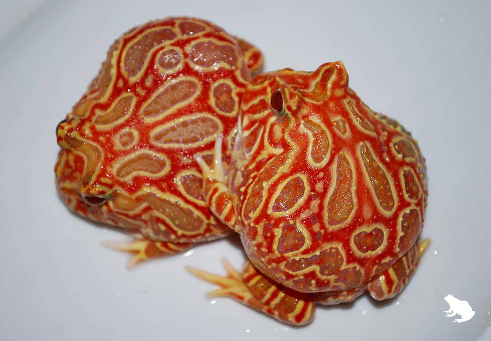 Strawberry Pacman Frogs