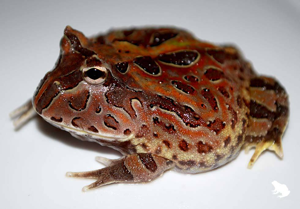 Brown Fantasy Frog Picture