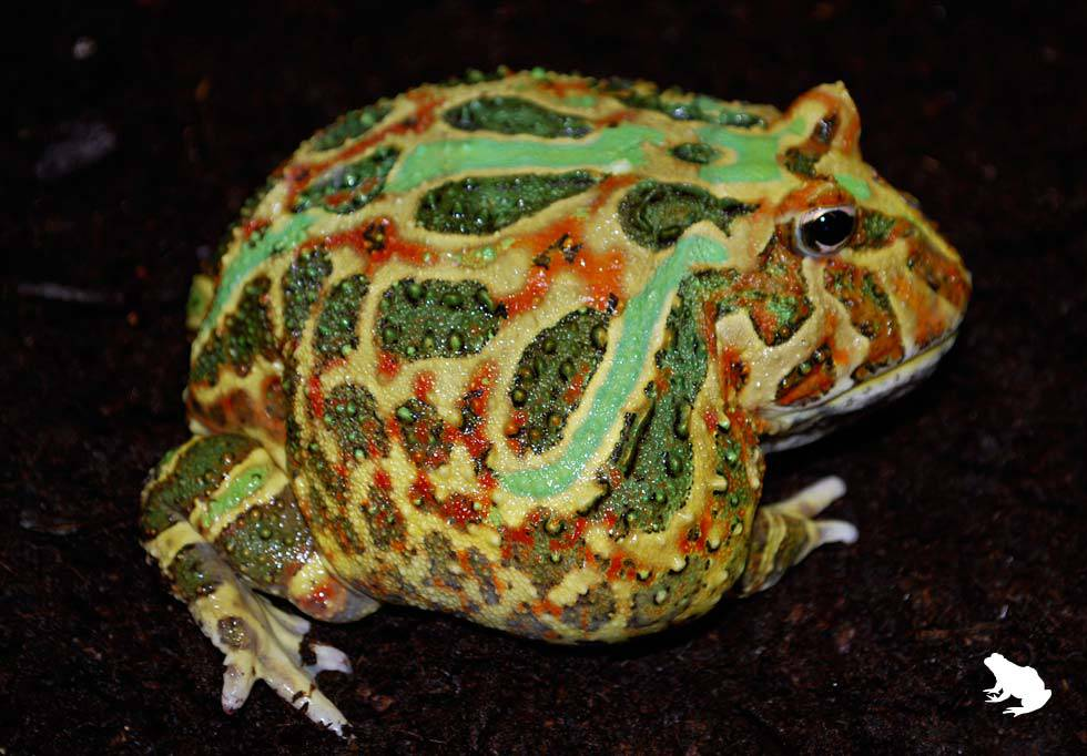 3-Striped Pacman Frog