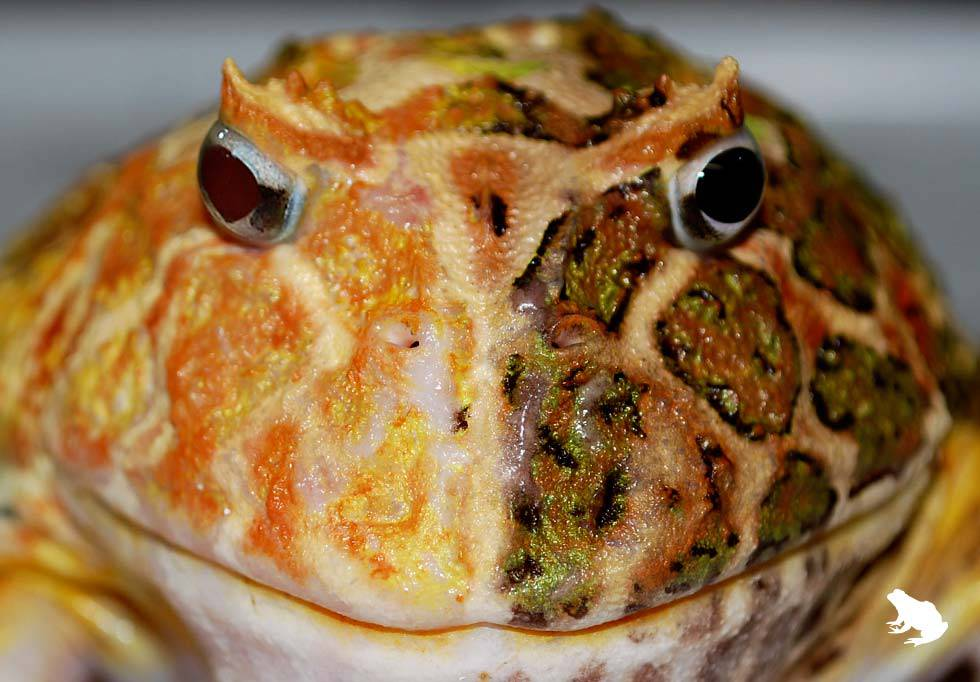 Two-Faced Pacman Frog Mutant front view
