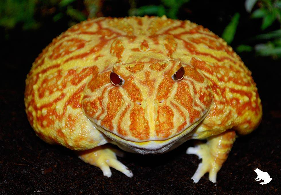 Apricot Pacman Frog Picture