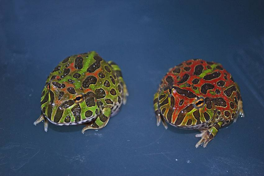 Wholesale Ornate Horned Frogs