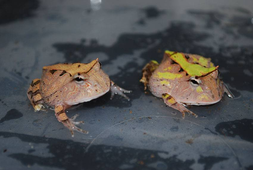 Juvenile Surinam Horned Frogs